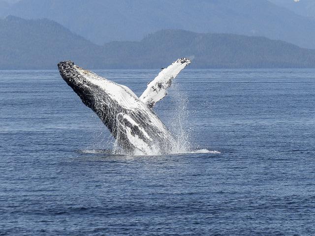 humpback-whale-436115_640